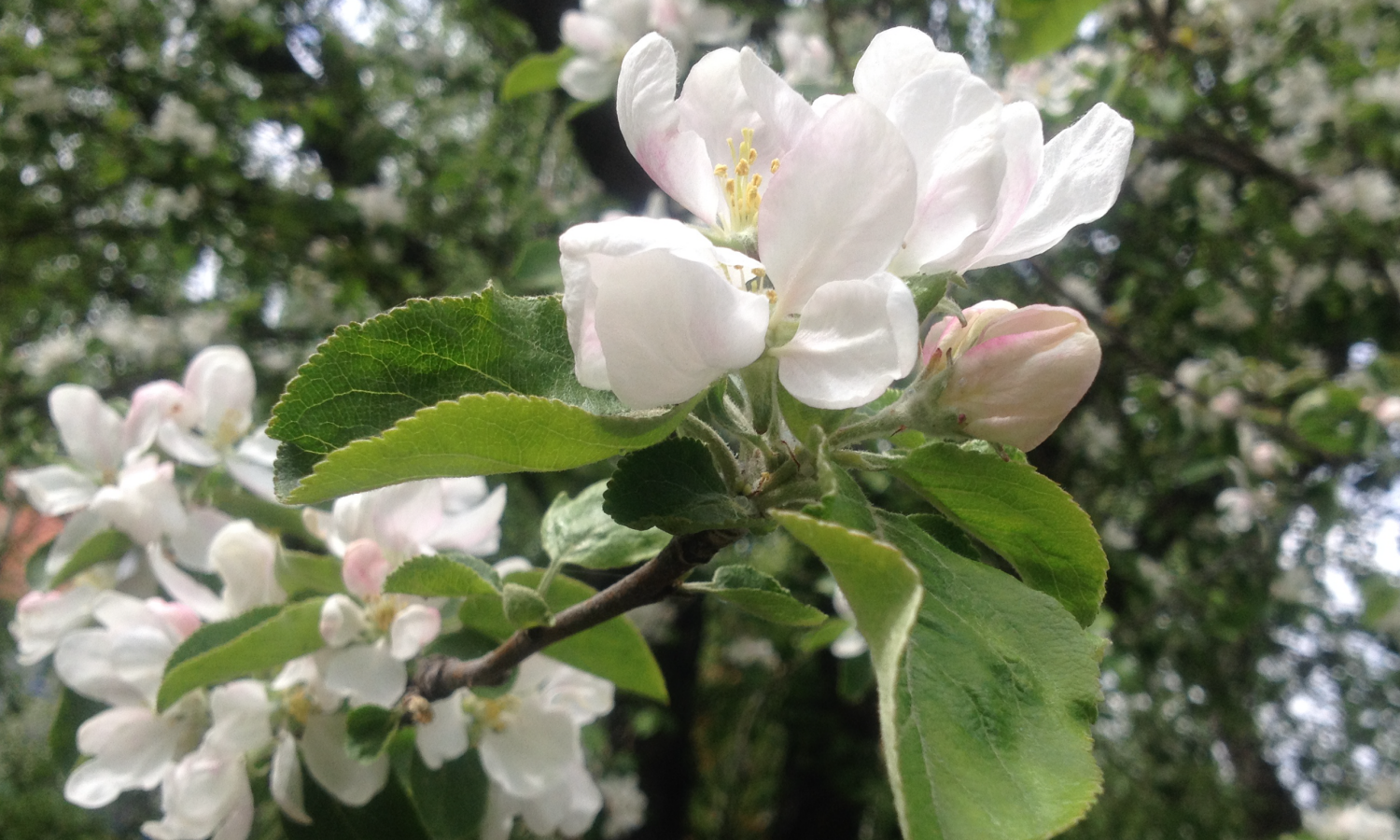 AppletreeFlower